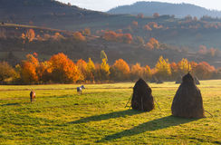 View on autumn mountain valleys, trees with colorful leaves and grazing horses. Stock Photos