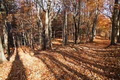 View from autumnal hardwood forest - european beechs Stock Photos