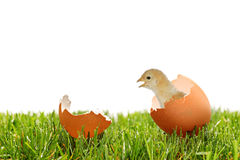 A view of a baby chicken on a green grass Stock Photography