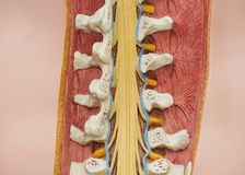View from the back of thoracolumbar spine model. View from the back of artificial human thoracolumbar spine model royalty free stock image