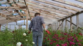 View from the back: A man walks in a greenhouse inspecting roses in gloves stock video