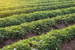 A row of agricultural sweet potato farming. Royalty Free Stock Image