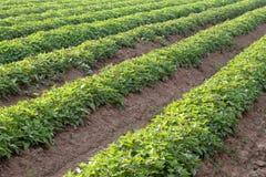 A row of agricultural sweet potato farming. Stock Photos