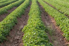 A row of agricultural sweet potato farming. Stock Image