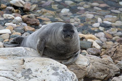View of the Baikal seal (nerpa) Stock Photo