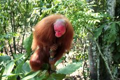View of a Bald Uakari monkey in the Amazon Rainforest near Iquitos, Peru. royalty free stock photos