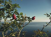 Baltic Sea and rose hips royalty free stock photos