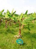 View of banana plantation Royalty Free Stock Photo