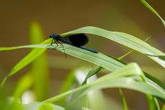 View on banded demoiselle. Close-up of a blue Dragonfly at the Lake. Dragonflies Calopteryx splendeus . A Dragonfly sits on a green leaf. sp stock images