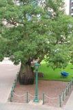 Characteristic Baobab Bottle Tree, Brisbane, Australia  Royalty Free Stock Photo