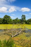 River Bosut in Vinkovci. A view of a bare branchy tree in the green river Bosut covered with algal blooms in Vinkovci, Croatia Stock Photography