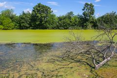 River Bosut in Vinkovci. A view of a bare branchy tree in the green river Bosut covered with algal blooms in Vinkovci, Croatia Stock Photo