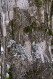 View of the bark of a tree covered with moss, lichen and snow 2 stock image