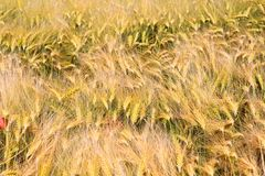View on barley grass field in summer royalty free stock photography