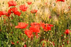 View on barley grass field in summer with red corn poppy flowers Papaver rhoeas stock photo