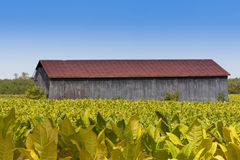 View of barn and tobacco plants field. Close up view of barn and tobacco plants field royalty free stock photography
