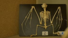 Skeleton of a bat. View of a bat skeleton in zoological laboratory stock footage