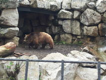 View of a bear in a zoo. While walking in its fence protected by iron grates Royalty Free Stock Photos
