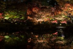 Autumn leaves in Japanese Garden. The view of the beautiful autumn leaves lighting-up under fall night sky in Tokyo, Japan Stock Photos