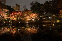 Autumn leaves in Japanese Garden. The view of the beautiful autumn leaves lighting-up under fall night sky in Tokyo, Japan Royalty Free Stock Photo