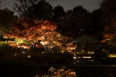 Autumn leaves in Japanese Garden. The view of the beautiful autumn leaves lighting-up under fall night sky in Tokyo, Japan Royalty Free Stock Photos