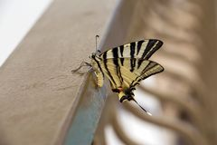 Beautiful butterfly showing her beauty Royalty Free Stock Photos