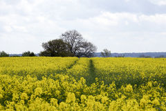 View of a beautiful field of bright yellow canola Stock Image