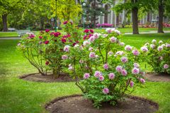View of beautiful garden with green lawn and blooming tree peonies. Paeonia suffruticosa - shrubs with colorful white and pink flowers royalty free stock photography