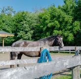 View of beautiful gorgeous black horse standing behind the wooden fence Stock Photography