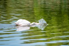 Great white pelican or Pelecanus onocrotalus hunting in water. View of beautiful great white pelican or Pelecanus onocrotalus or rosy pelicans hunting with its royalty free stock photography