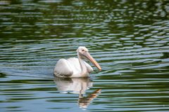 Great white pelican or Pelecanus onocrotalus in water. View of beautiful great white pelican or Pelecanus onocrotalus or rosy pelicans in water royalty free stock photo