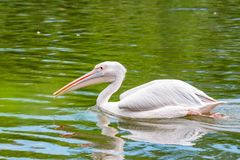 Great white pelican or Pelecanus onocrotalus in water. View of beautiful great white pelican or Pelecanus onocrotalus or rosy pelicans in water royalty free stock photos