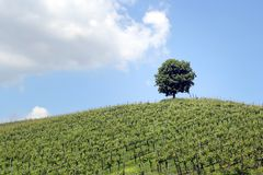 Beautiful Green Vineyard with a Tree. View Beautiful Green Vineyard with a Tree royalty free stock photography