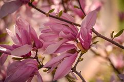 Magnolia Blossoms on a Bright Spring Day Stock Images
