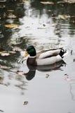 Mallard duck. View of a beautiful mallard duck on a pond Stock Photos