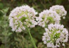 View beautiful of Onion flower stalks. Closeup Royalty Free Stock Photo