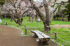 View of a beautiful park and Cherry blossoms or Sakura. Royalty Free Stock Images