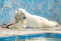 Polar bear or Ursus maritimus in captivity eats meat next to pool. View of beautiful relaxed lazy Polar bear or Ursus maritimus eating meat in zoo royalty free stock photo