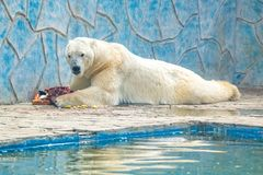 Polar bear or Ursus maritimus in captivity eats meat next to pool. View of beautiful relaxed lazy Polar bear or Ursus maritimus eating meat in zoo stock photography