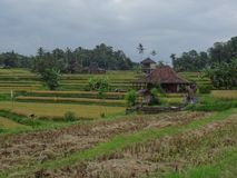 View of beautiful rice fields before harvesting royalty free stock images