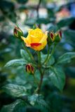 Rose flower in a garden Royalty Free Stock Photos