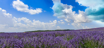 View of beautiful summer lavender field Royalty Free Stock Image