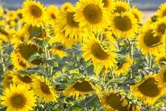 Beautiful Sunflowers, closeup Royalty Free Stock Image