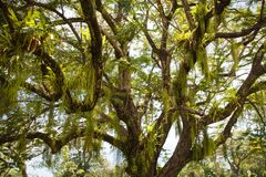 View of a beautiful tree with twining and hanging leaves of a parasitic plant against the blue sky stock image