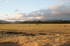 Beef cattle in pasture at sunset stock photo