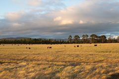 Beef cattle in pasture at sunset royalty free stock photo