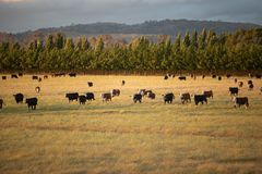 Beef cattle in pasture at sunset royalty free stock photos