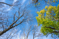 View from below into bald and green treetops Stock Images