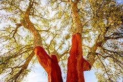 Cork oak trees in Portugal Royalty Free Stock Photo