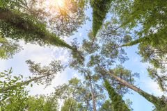 View from below on the crowns of tall perennial pines against the blue sky Stock Photography